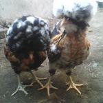Ayam Polan Umur 3 Bulan untuk Mas Anang di Lahat Sumatera Selatan