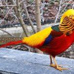 Jual Ayam Golden Pheasent Dari Anak atau Bibit Sampai Induk Siap Telur atau Produksi