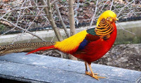 Beternak Golden Pheasant