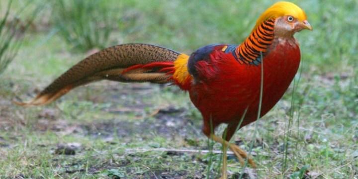 Jenis Ayam Pheasant yang Semakin Populer di Kalangan Kolektor Ayam Hias