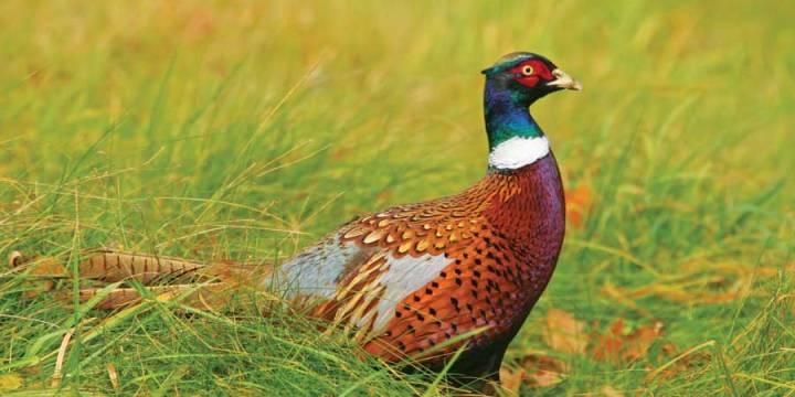 Jual Ringneck Pheasant atau Pegar Kalung Dengan Kualitas Tinggi