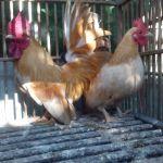 5 Persiapan yang Dilakukan Peternak Sebelum Ayam Kate Bertelur