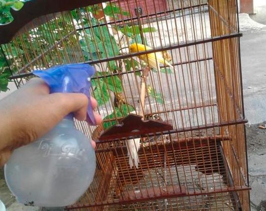Burung kenari yang sedang dimandikan dan sekalian membersihkan kandangnya | Image 2