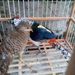 Mengenal Ternak Lady Amherst Pheasant yang Eksotis
