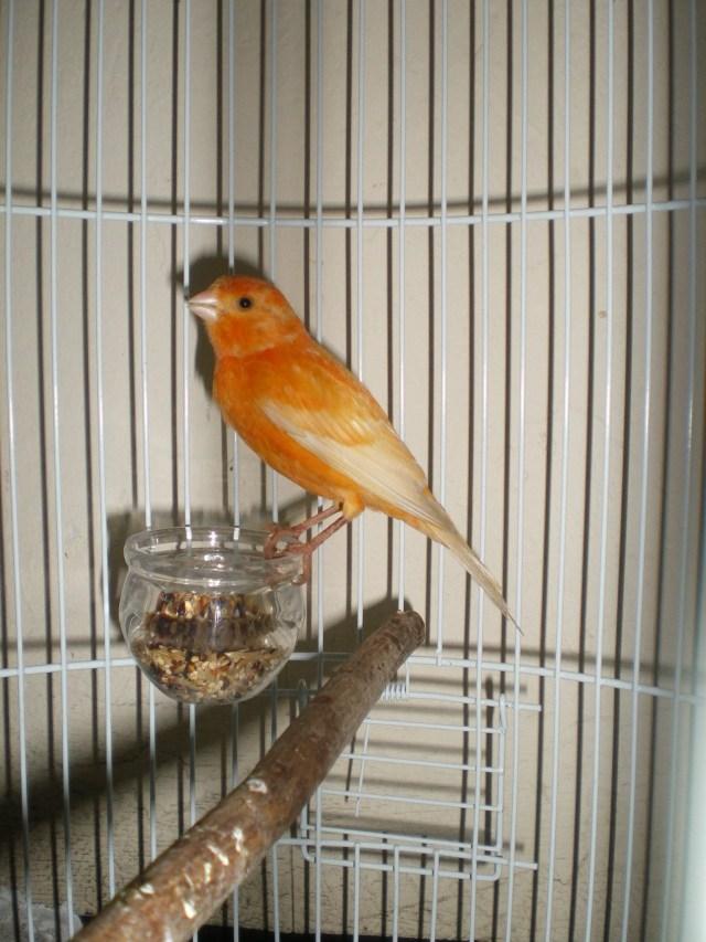Ketika Burung Kenari memiliki nafsu makan yang sedikit, maka akan menyebabkan bobot menjadi menurun dan akan mempengaruhi kesehatan si burung | gambar 2