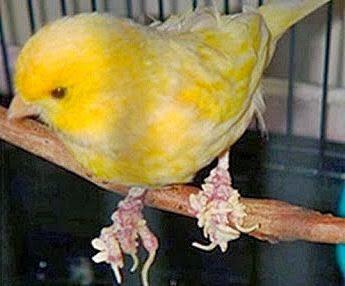 Kaki burung kenari yang berjamur | Image 1