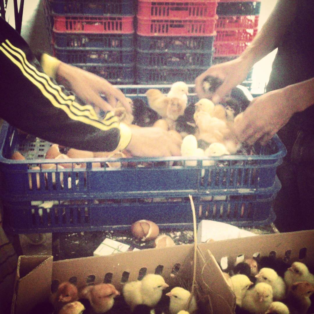 Jual Bibit Ayam Kampung Super atau Joper