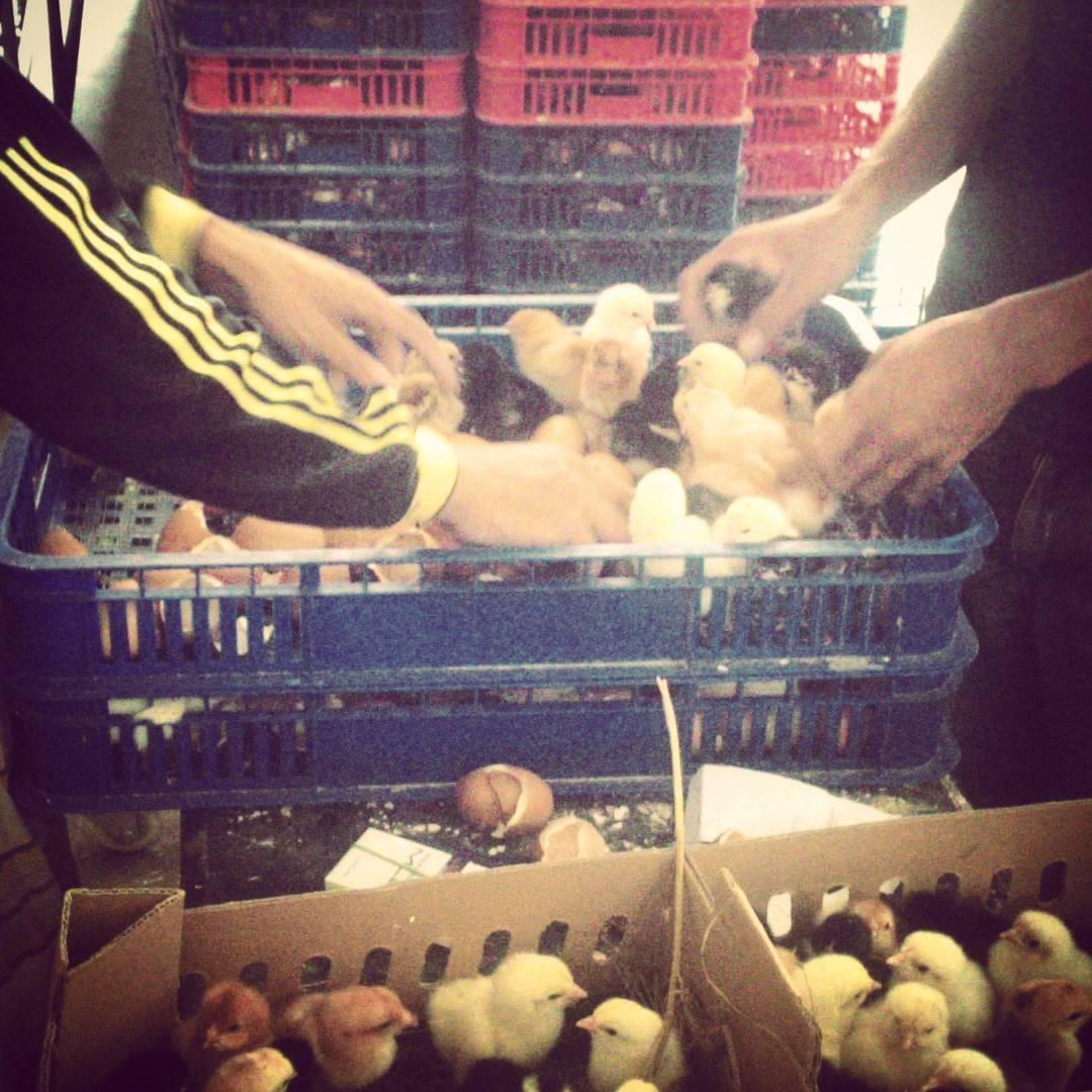Jual Bibit Ayam Kampung Super atau Joper