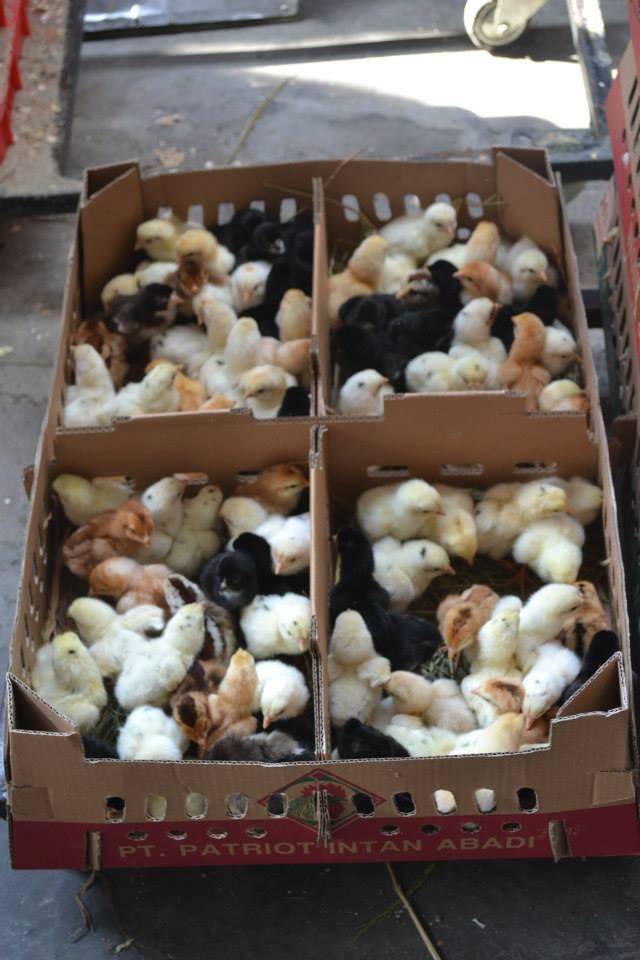 7 Jenis Pemanas Buatan Untuk Usaha Beternak Ayam Kampung