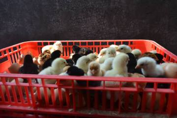Masa panen ayam Joper yaitu 60 hari atau sekitar 2 bulan