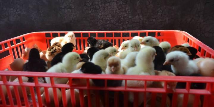 Jual DOC Ayam Kampung Super Siap Kirim untuk Wilayah dalam Pulau Jawa