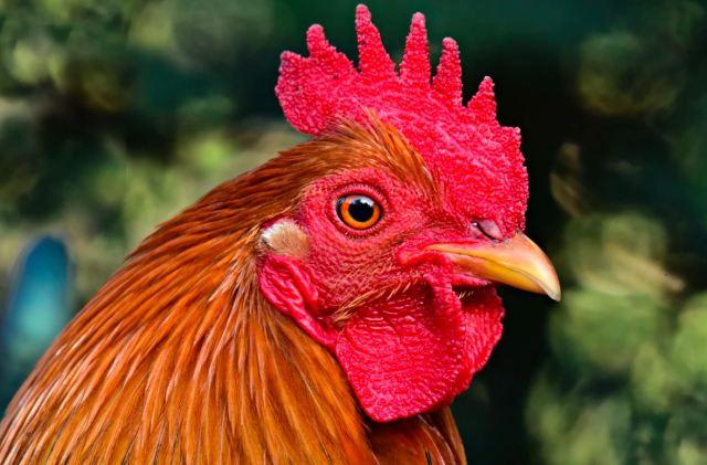 Mata ayam yang terlihat jerni dan segar menjadi tanda ayam tersebut baik dan sehat.