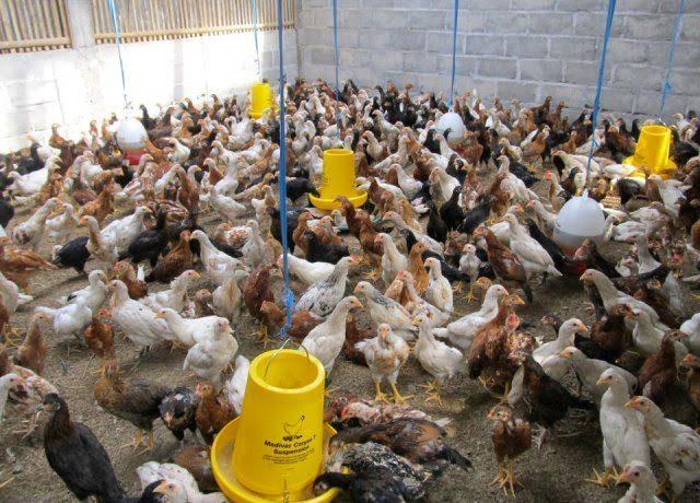 Kandang yang Baik untuk Ternak Ayam Kampung Super (JOPER)