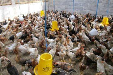 Ayam Jawa Super/ Ayam Kampung Super