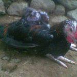 Penyakit yang Menyerang Ayam Kampung Super Disebabkan Oleh Lalat