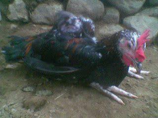 Ayam jawa super, DOC ayam jawa super, jual DOC ayam jawa super, Harga DOC joper, pengendalian lalat, cara membasmi lalat secara tradisional, cara mengatasi lalat pada kandang