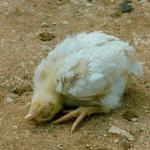 Penyakit Tetelo Pada Ayam