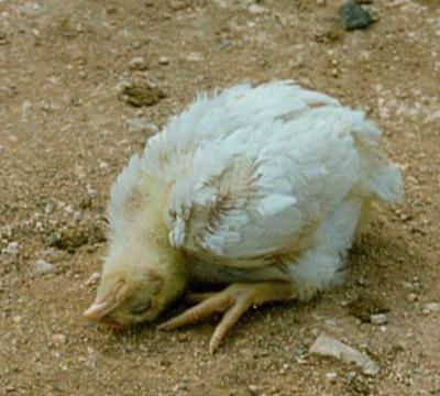 Mengenal Penyakit Tetelo (Newcastle Disease) yang Bisa Menyerang Ayam Kampung Super