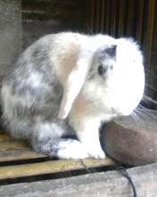 Holland Lop Jantan