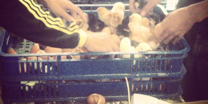 Penjualan DOC Ayam Kampung Super untuk Daerah Makassar