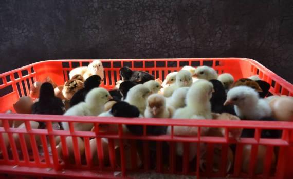 Pengiriman DOC Ayam Kampung Super untuk Bapak Imam di Kebumen
