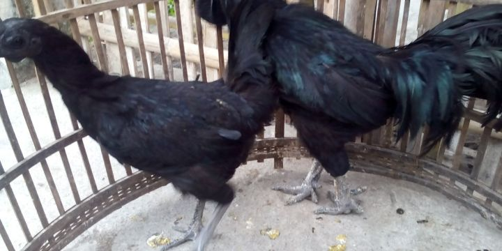 Sell Cemani Chicken from Seed until Adult and Ready for Breeding (Farmed)