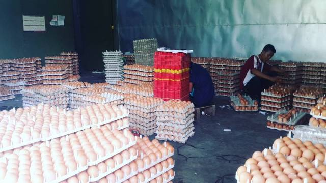Telur yang Siap di Tetaskan Menjadi DOC Ayam Kampung Super | Image 5