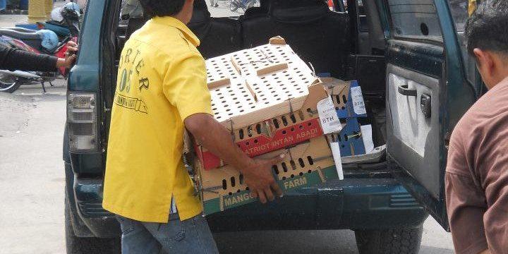 Pengambilan DOC Ayam Kampung Super (Joper) Pesanan Bapak Wiwit di Jepara