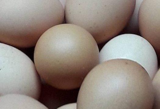 Penanganan Telur Ayam Kampung Super Yang Akan Dijadikan Telur Tetas