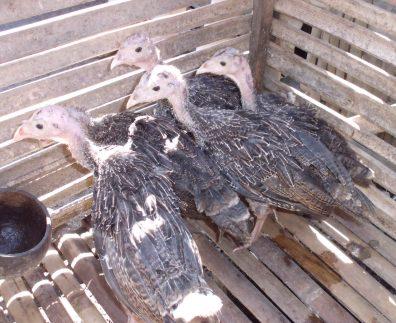Ukuran ayam kalkun sekitar umuran 2 bulan sudah bisa di lepas dari lampu penghangat untuk menghemat energi