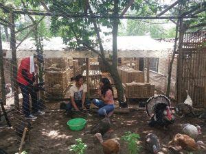 Penjelasan Seputar Peternakan Ayam Kalkun