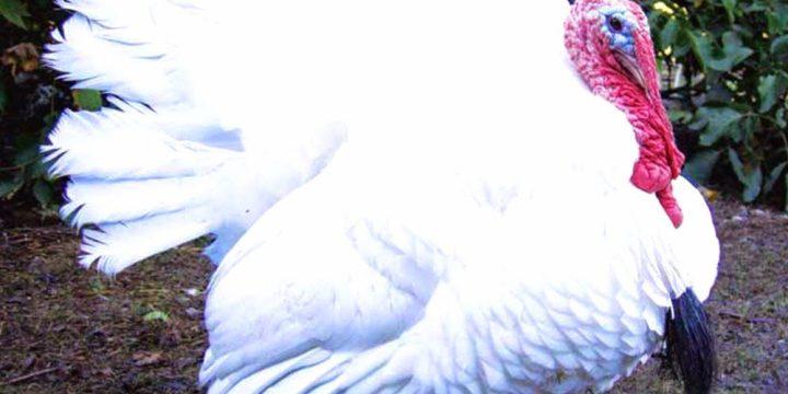 Ayam Kalkun Umur 2 Bulan Jenis Bronze dan Kalkun Putih