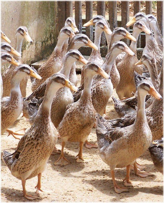 Selain ditujukan sebagai bebek penghasil telur, ternyata bebek alabio juga bisa ditujukan sebagai penghasil daging.   Image 9
