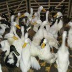 Bebek hibrida sudah dapat di panen pada usia 45 hari