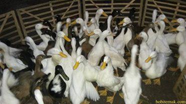 Berikut adalah contoh foto bebek hibrida