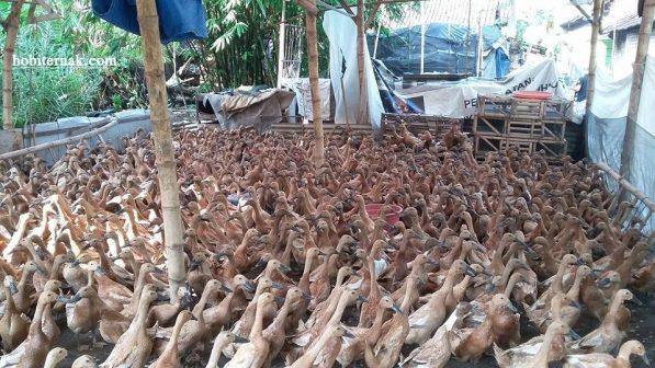 Komposisi Pakan Untuk Bebek Petelur Agar Menghasilkan Telur yang Berkualitas