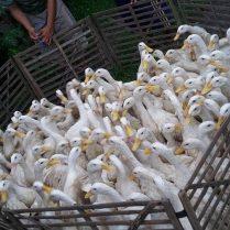 Segerombolan bebek peking usia dewasa siap panen