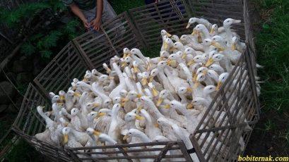 Pedoman Dalam Beternak Bebek Peking