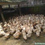 Bisnis Ternak bebek  Pedaging dan Petelur