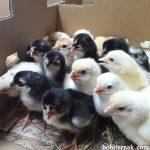 8 Hal yang Perlu Peternak Pemula Lakukan Pada Saat Menerima DOC Ayam Kampung Super