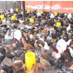 Memilih Membesarkan Ayam Kampung Super Pedaging Sampai  Fase Grower atau Fase Finishing?