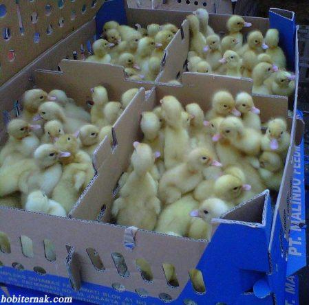 Bebek Peking Sebagai Bebek Pedaging Unggulan Dari Tiongkok