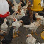 Pengaturan Kepadatan Populasi Ayam Kampung Super Mulai Dari Anakan Hingga Indukan
