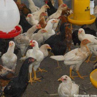 budidaya ayam kampung super