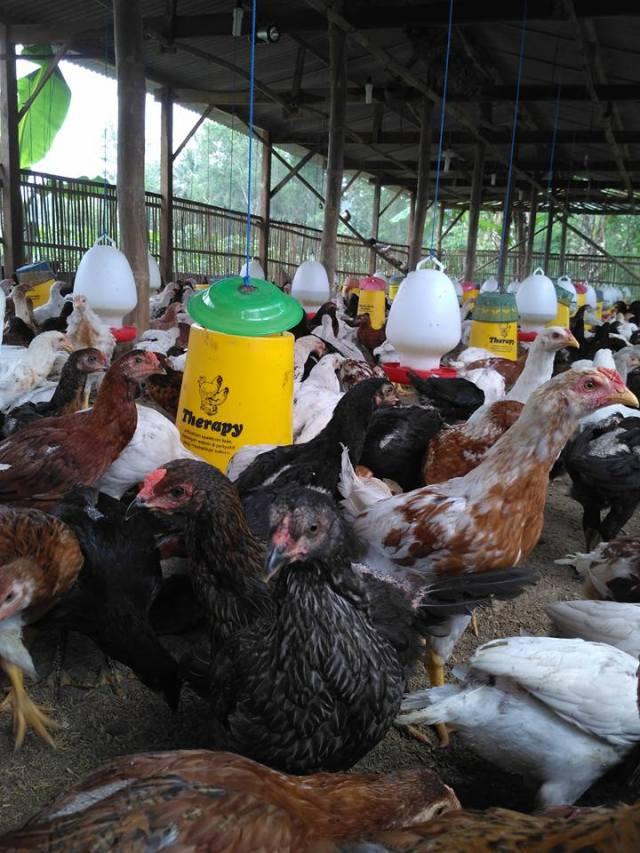 Ayam Kampung Super atau Joper persilangan dari ayam petelur betina dengan bangkok pejantan