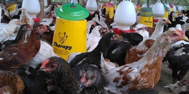 Menelusuri Jejak Sejarah Ayam Kampung Super di Indonesia