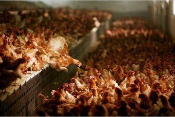 Ayam kanibal
