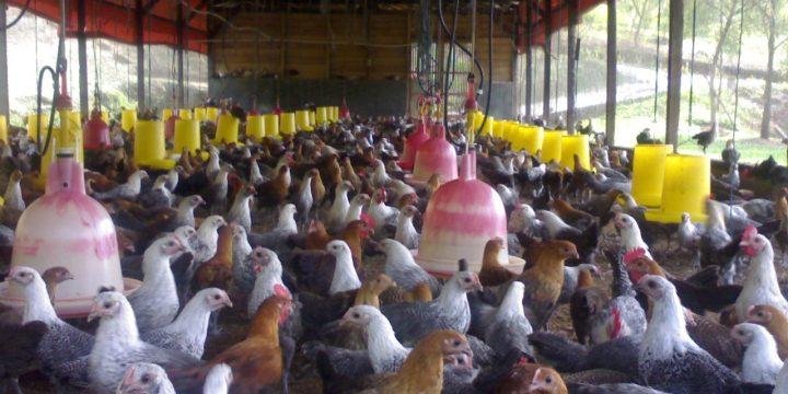 Mengenal Bekicot dan Tepung Ikan Sebagai Salah Satu Bahan Pakan Tambahan Untuk Ayam Kampung Super