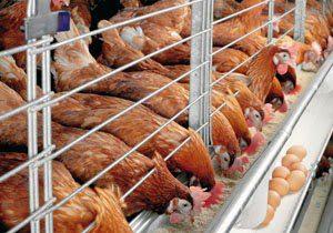Kandang baterai dengan tingkat 2 yang biasa peternak gunakan | Ayam makan