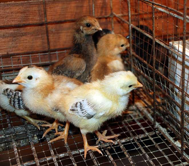 Jual DOC Atau Bibit Ayam Kampung Super Joper Untuk Daerah Medan